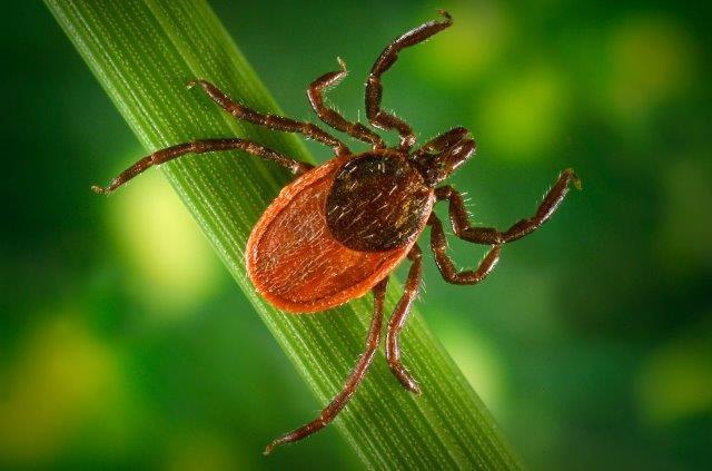 Image of a black legged tick