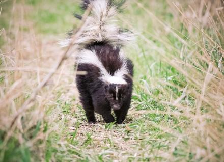 Rabies Featured Image - Skunk