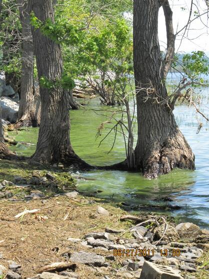 Shoreline accumulation of cyanobacteria