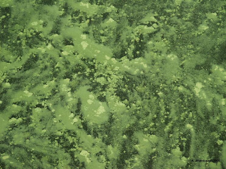Mixed-up layer of cyanobacteria