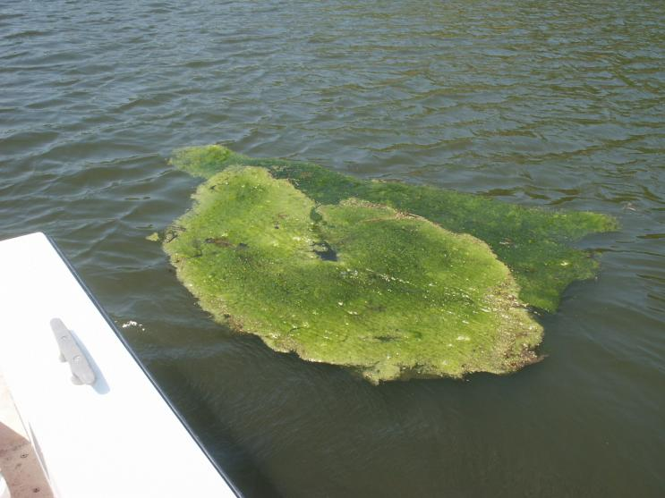 Floating mass of Spirogyra and Mougeotia (green algae)