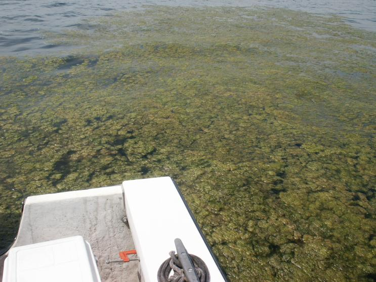 Floating clumps of Ulothrix (green algae)
